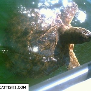 Monster snapping turtle