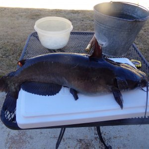 "26.5"" Channel Catfish"